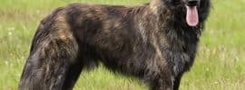 Dutch Shepherd: The Ultimate Guide