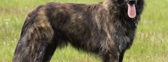 Long-Haired Dutch Shepherd