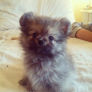 The Ultimate Guide To Owning A Pomchi A K A Pomeranian Chihuahua