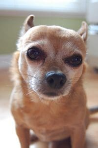 Pomchi dog is looking into camera