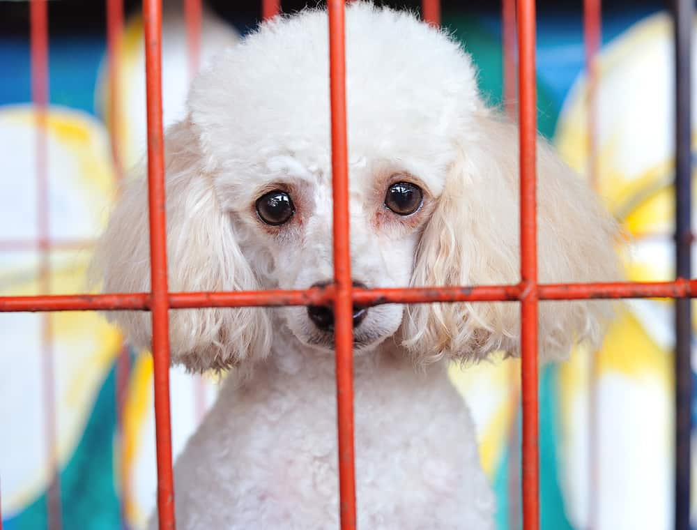poodle dog in crate