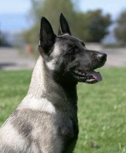 Short-haired Dutch Shepherd portrait