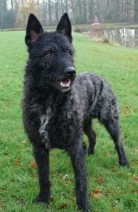Wire-haired Dutch Shepherd