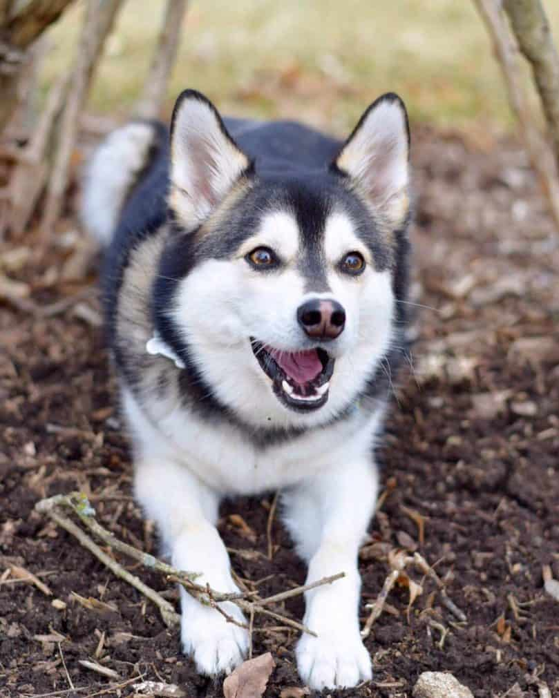 Pomsky laying on the ground