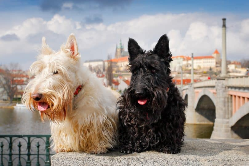 Scottish terrier, Black and white wheaten dog, sitting on bridge, Prague castle in the background. Czech republic, Europe.