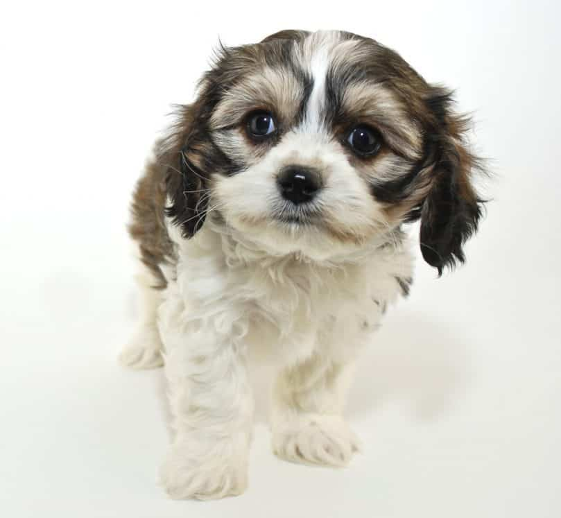 Cavachon sitting with white backgrand