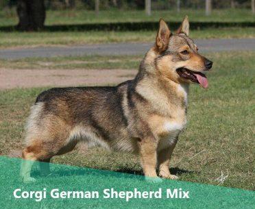 Corgi German Shepherd Mix,also known as Corman Shepherd