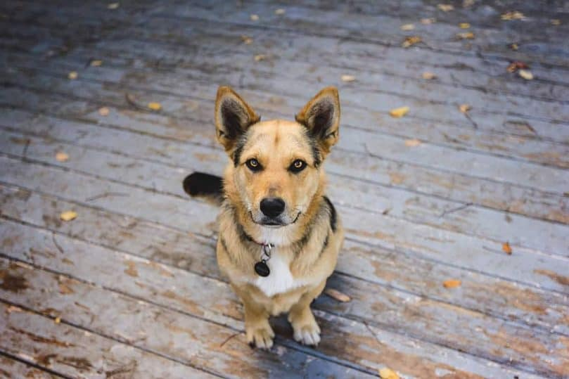 German Shepherd and Corgi mix