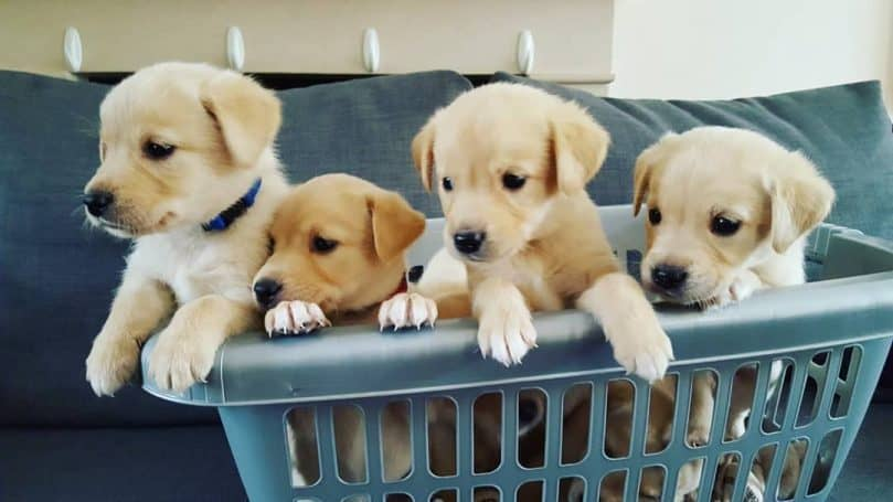 Goldador puppies in a basket