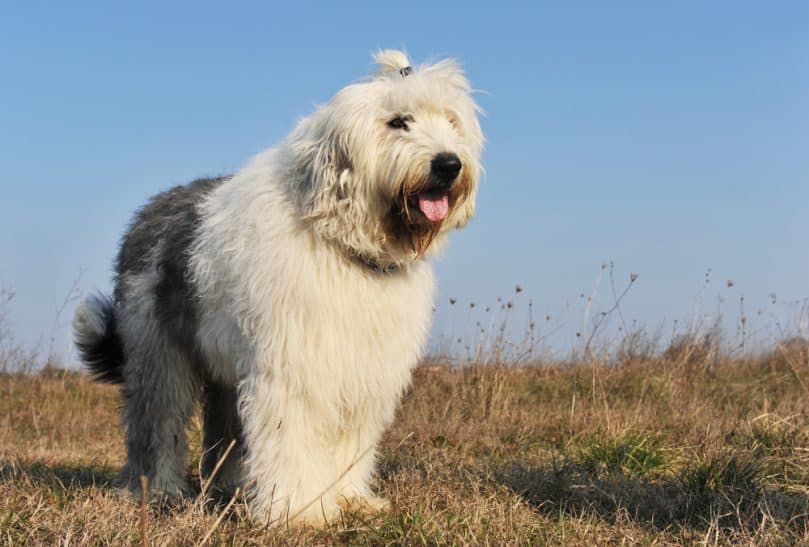 purebred Old English Sheepdog upright in a field