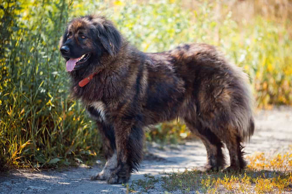 Everything You Need To Know About The Russian Bear Dog