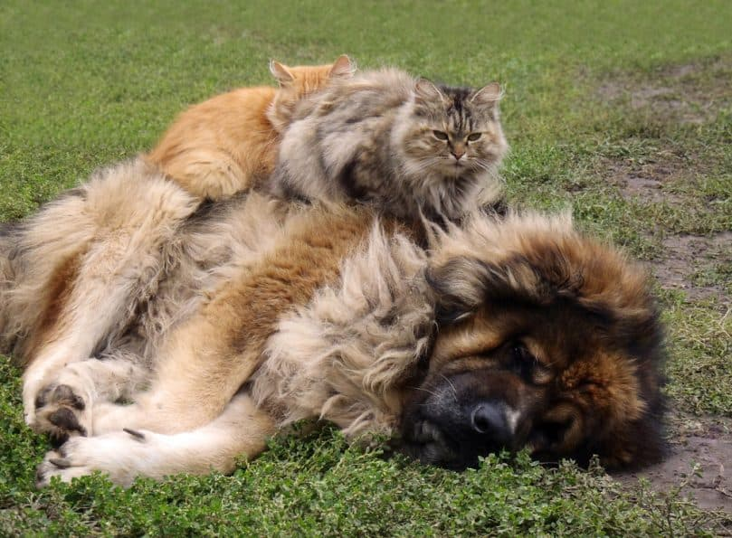 Russian Bear Dog with cat