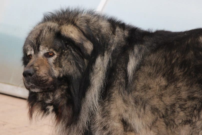 caucasian mountain shepherd (1)