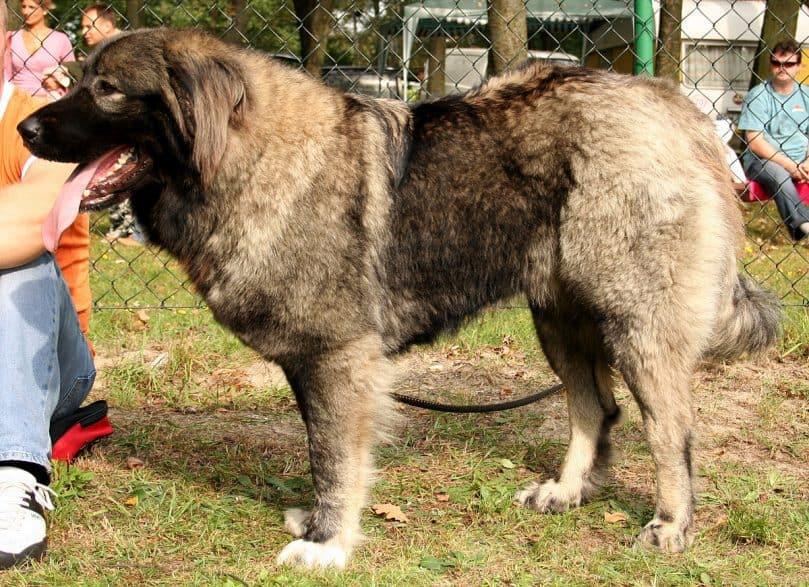 caucasian mountain shepherd (2)