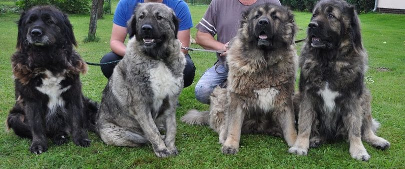 Caucasian Mountain Shepherd For Sale >> 7 Things About Caucasian Mountain Shepherd Future Owner Should Know