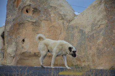 Huge Kangal dog walking outdoors