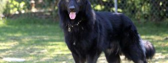 black king shepherd
