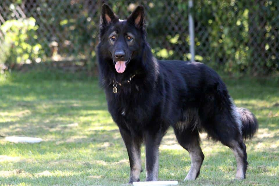 15 Things to Consider before You Choose a King Shepherd