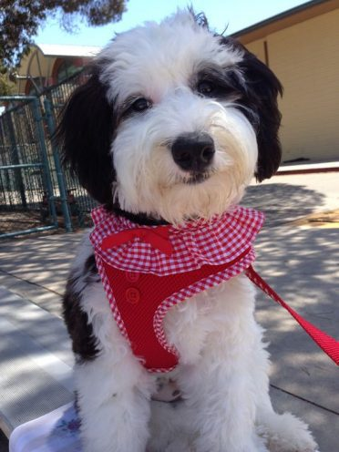 11 things you have to know before owning a sheepadoodle animalso