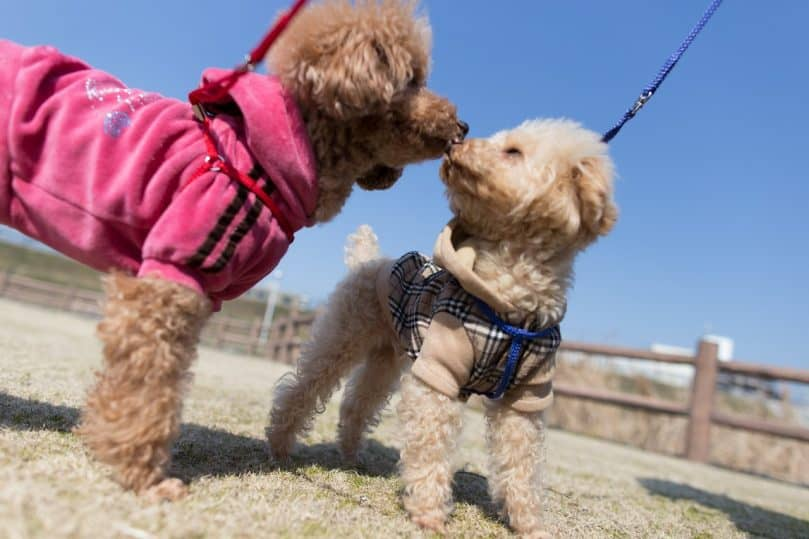 two little poodles on leash
