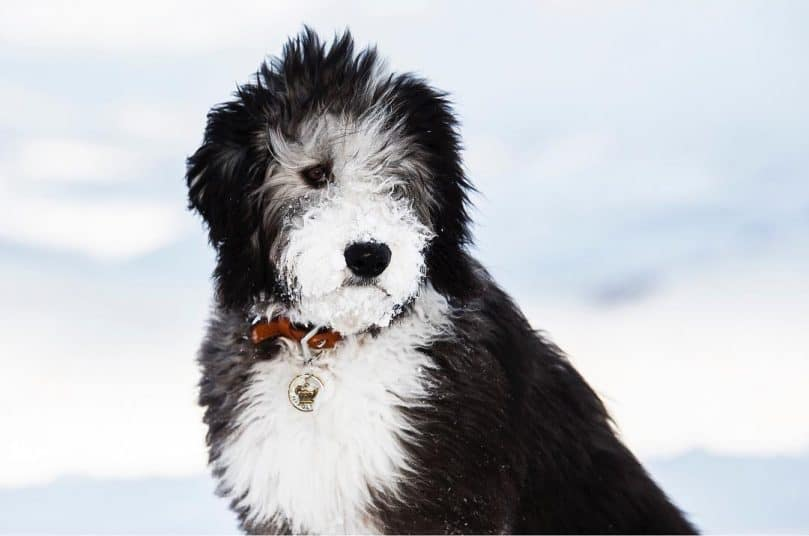 11 Things You Have To Know Before Owning A Sheepadoodle