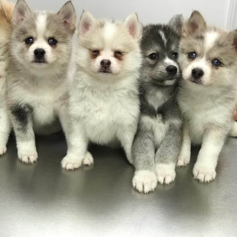 Cute Pomsky puppies in a line