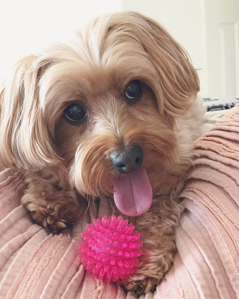 Yorkipoo playing with a pink ball