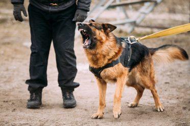 German Shepherd Dog Attacking