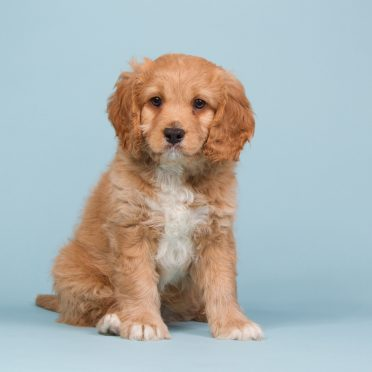 Cavapoo sitting on a blue background
