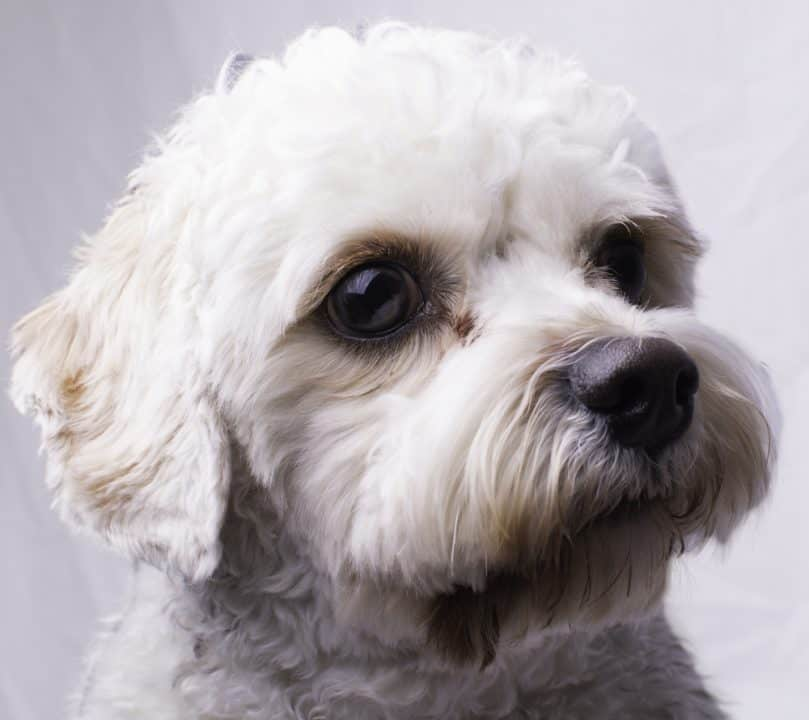 Close portrait of a cavapoo toy dog.