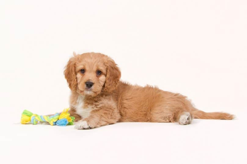 Apricot colored cavapoo puppy with a toy laying on a white background