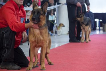 German shepherd training school