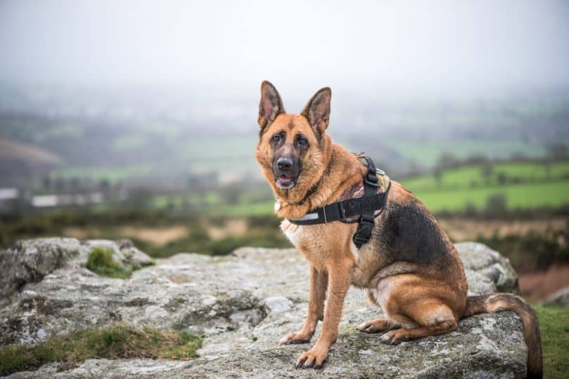 German shepherd dog in harness