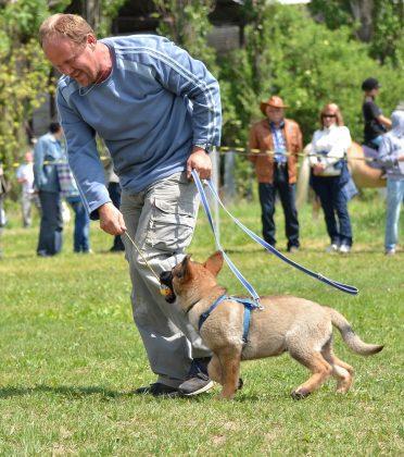 German Shepherd puppy learning to walk on a leash
