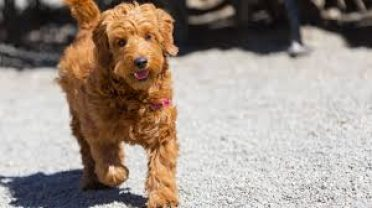 Golden Retriever Poodle Mix,also known as Goldendoodle