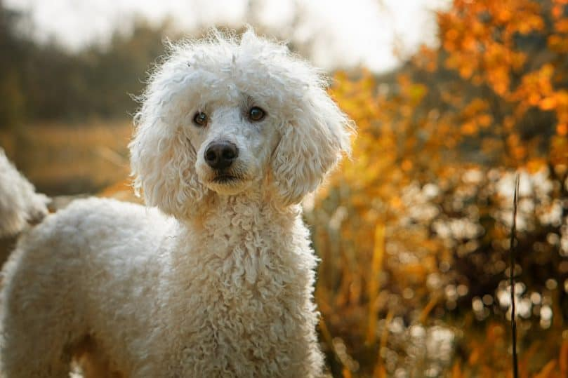 Close up of Poodle