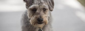 Close up of a Schnoodle