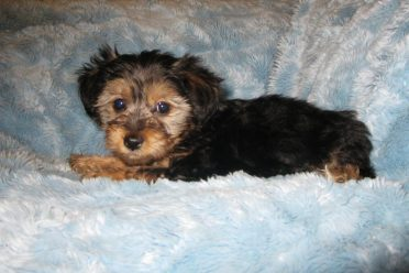 Yorkipoo also known as Yorkie Poodle Mix