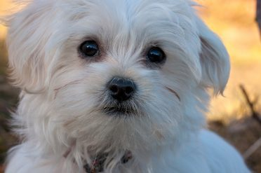 Close up of a Maltese