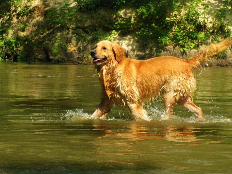 Golden Retriever running in the water