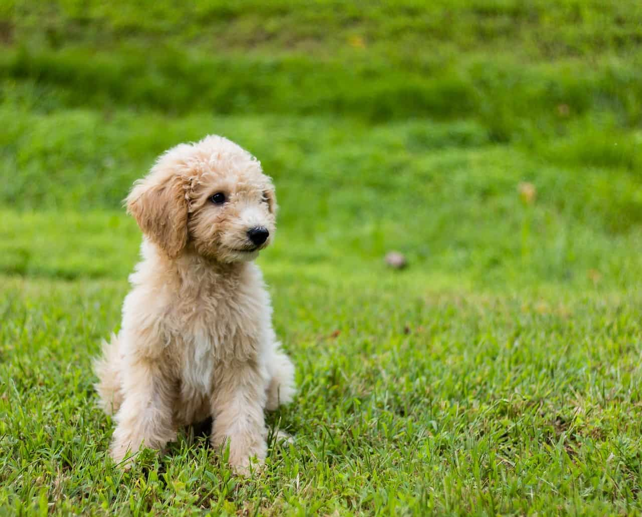Goldendoodle puppy sitting in the grass