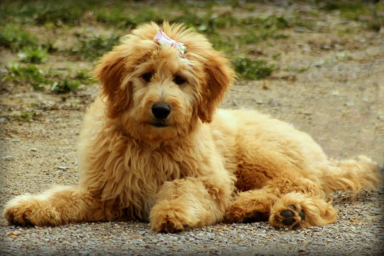 Cute Goldendoodle laying on gravel