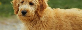 Goldendoodle with hair bow