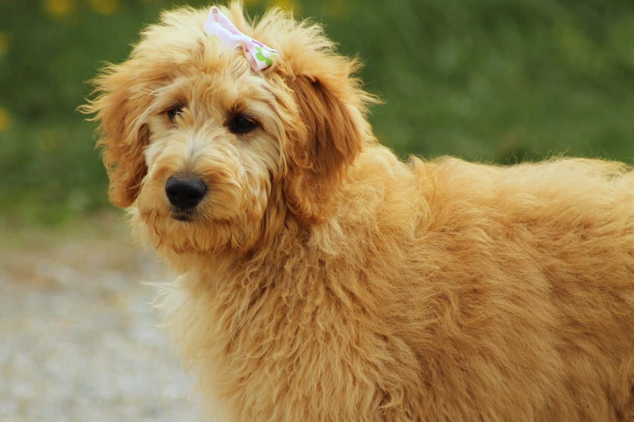 Get To Know The Goldendoodle A Devoted Social Dog Animalso
