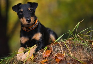 cute Jagdterrier dog in the forrest