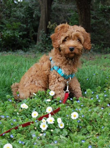 Australian Labradoodle sitting in flowers