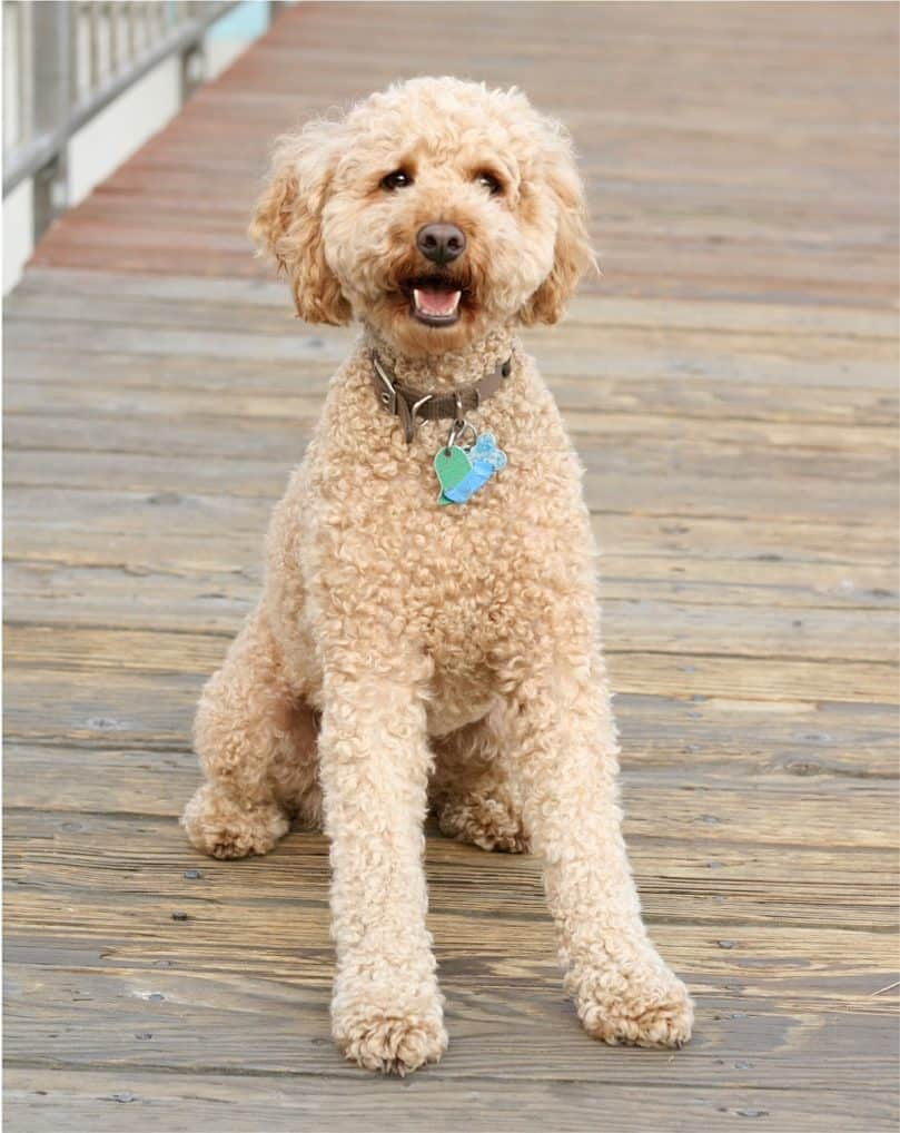 Curly haired Labradoodle sitting