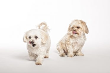 Maltipoo And Morkie Puppies On White Background