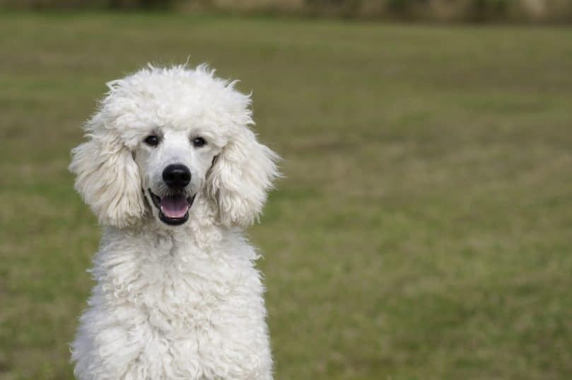 White poodle sitting outside