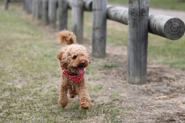 Small poodle running on the grass